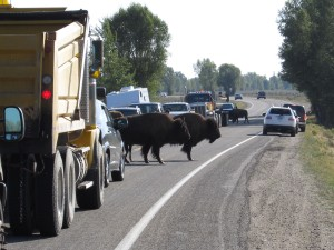 Buffalo causing a traffic jam, Wyoming